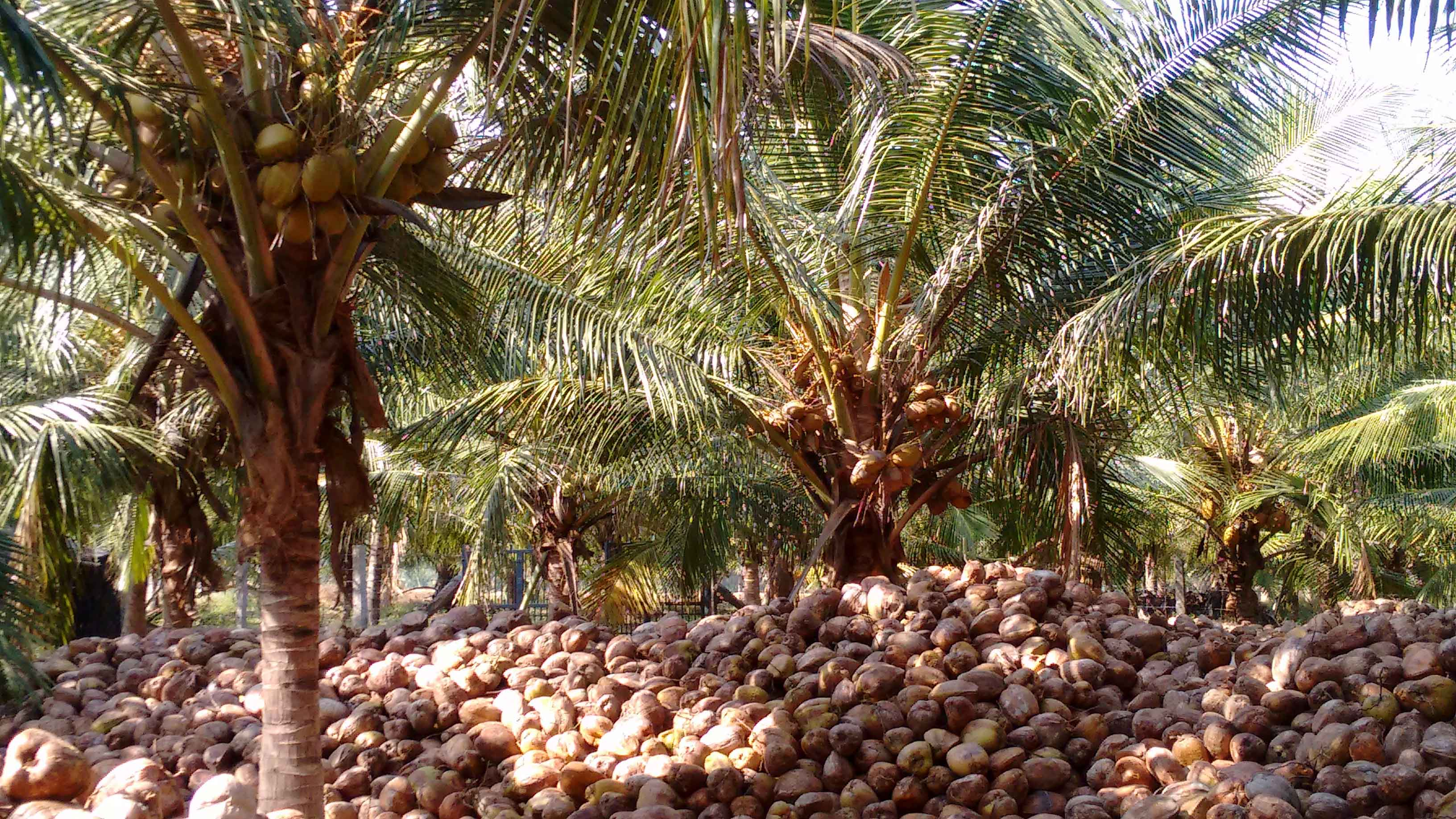 Fresh & Dry Pollachi Coconut Exporters & Suppliers in India